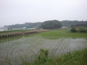rice fields, south korea