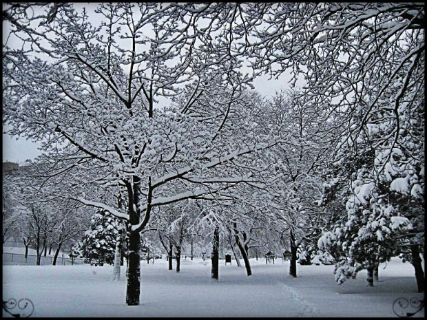 Snow covered trees in Toronto