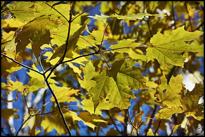Green leaves, Fall foliage, Mont Tremblant, Photography, Togs