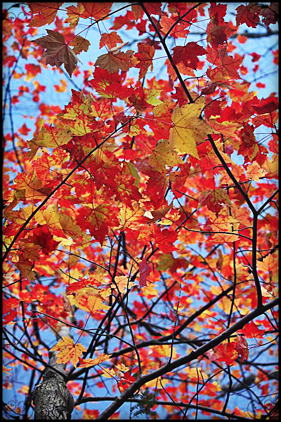 Red leaves, Fall foliage, Mont Tremblant, Photography, Togs