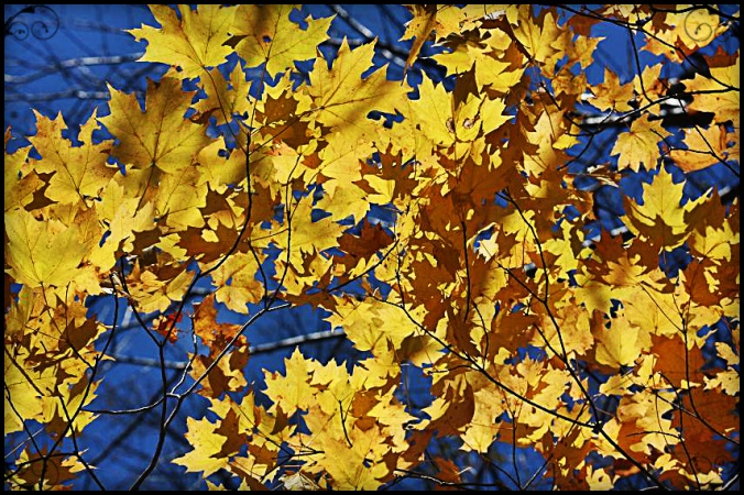 Yellow leaves, Fall foliage, Mont Tremblant, Photography, Togs