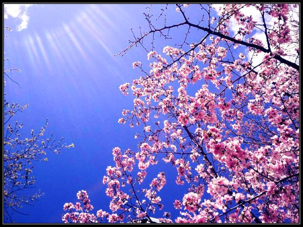 Cherry Blossom Tree, Sun, spring, renewal, cherry blossom, montreal, nature, new life