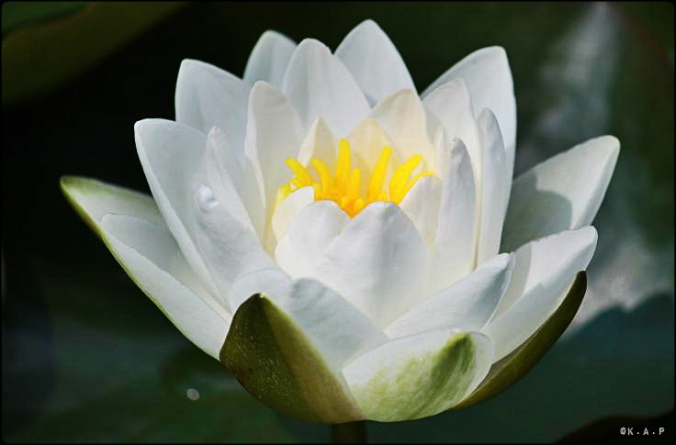 white lilly, white water lilly, flower, plant, pond in niagara falls, beauty, nature