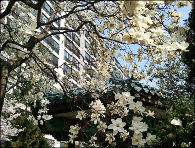 magnolia tree, tree, Seoul, South Korea