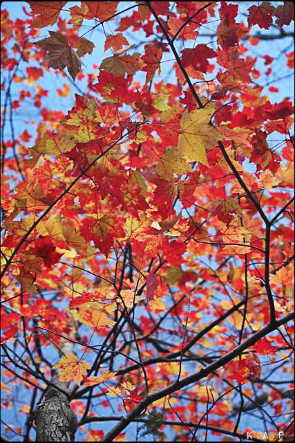 Maple Leaf Tree, Mont-Tremblant, Quebec, fall, fall foliage