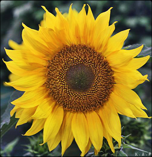 sunflower, flower, plant