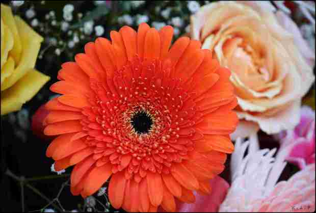 Gerbera, orange gerbera, flower, gardening