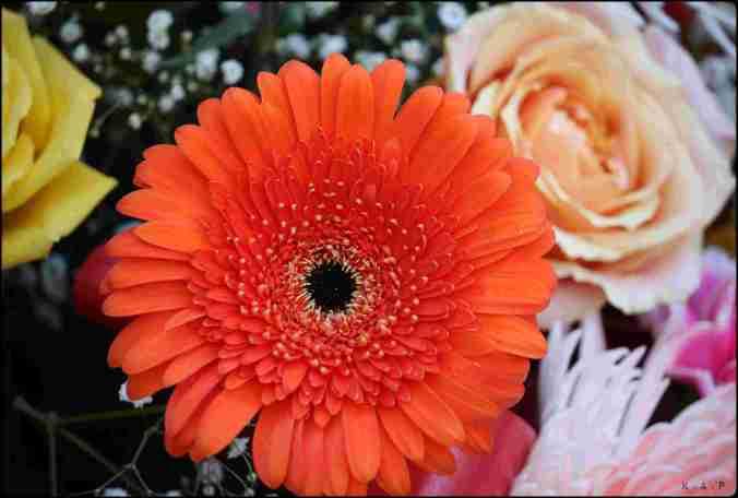 Gerbera, orange gerbera, flower, gardening