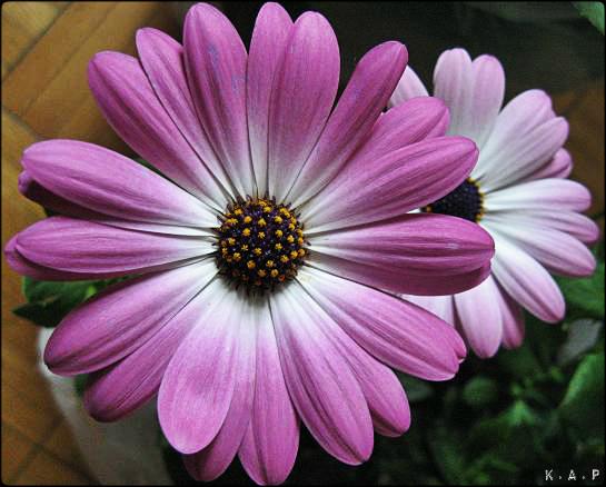 Daisies, purple daisies, flowers, gardening