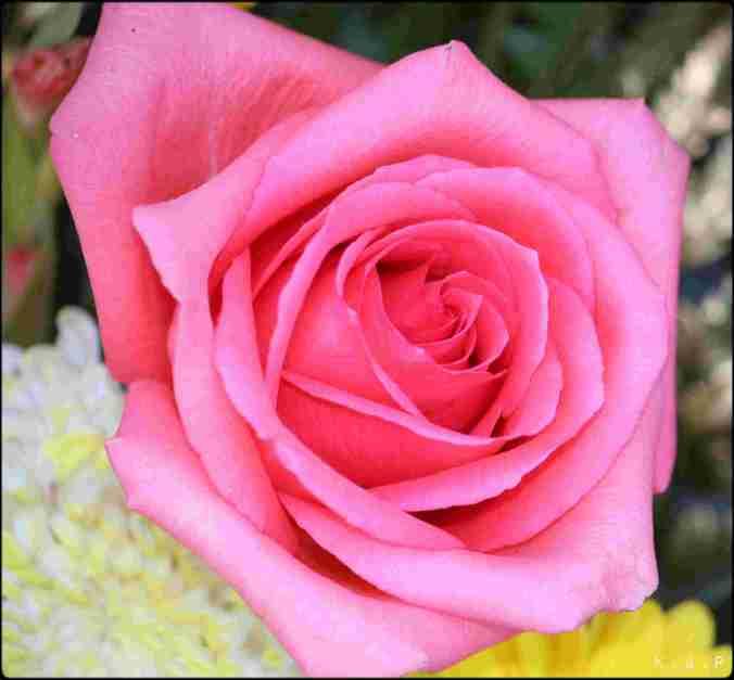 Rose, pink rose, flower, gardening