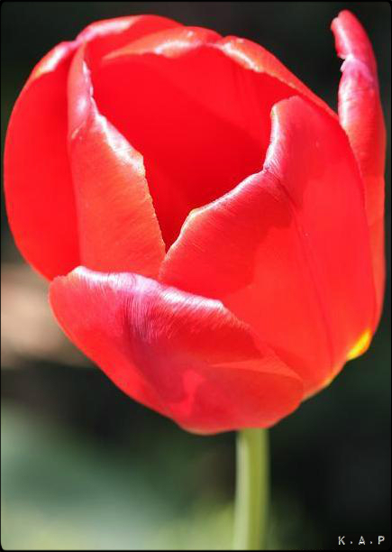 red tulip, tulip, gardening, flowers