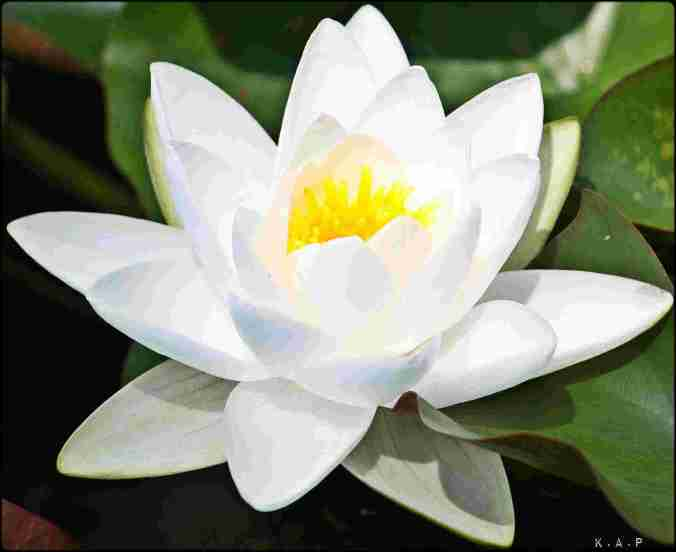 water lilly, white water lilly, flowers, gardening