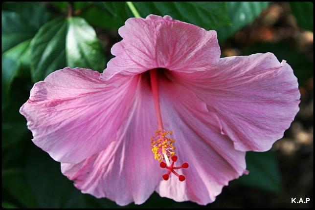 pink hibiscus, flowers, garden, outlet restaurant, Boca Grande, Florida, SW FL, view