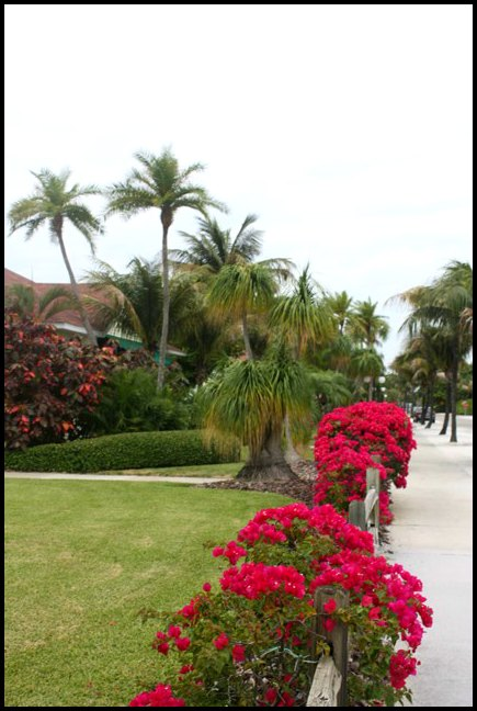Palm trees, flowers, Boca Grande Bike Path, nature, outdoors, Boca Grande, Gasparilla Island, Charlotte Harbor, SW Florida, FL