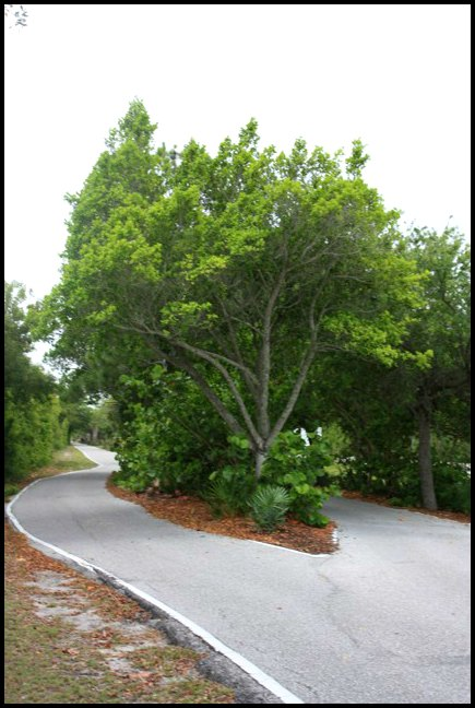 trees, Boca Grande Bike Path, nature, outdoors, Boca Grande, Gasparilla Island, Charlotte Harbor, SW Florida, FL