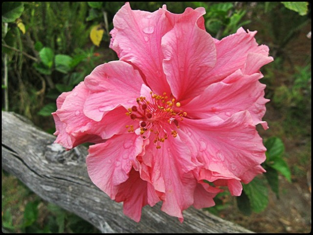 Hibiscus, Hibisco, El Boqueron National Park, Parque Nacional El Boqueron, San Salvador, El Salvador, park, parque, crater, bosque, forest, hiking, caminata, Centro America, Central America, Travel, Viaje