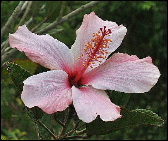 Hibiscus, Hibisco, El Boqueron National Park, Parque Nacional El Boqueron, San Salvador, El Salvador, park, parque, crater, bosque, forest, hiking, caminata, Centro America, Central America, flower, flor