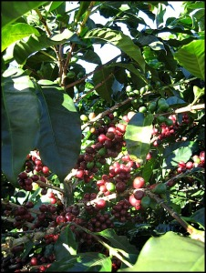 Green beans, coffee cherries, Doka Estate, Alajuela, Costa Rica, Centro America, coffee plantation