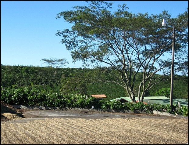 coffee drying, sundried coffee, Doka Estate, Alajuela, Costa Rica, Centro America, coffee plantation
