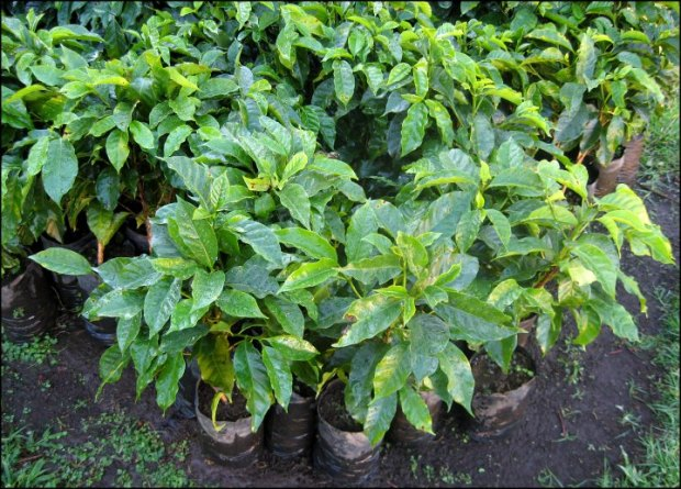 coffee plants,  Doka Estate, Alajuela, Costa Rica, Centro America, coffee plantation