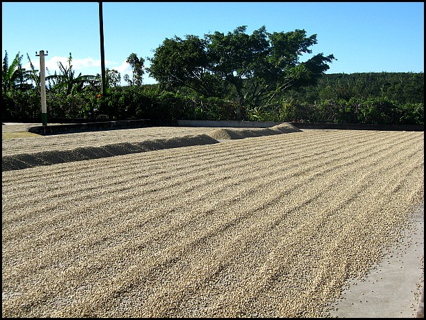 sundried coffee beans, Doka Estate, Alajuela, Costa Rica, Centro America, coffee plantation