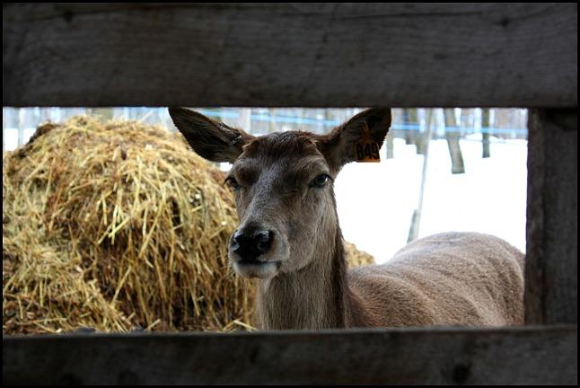 farm animal, Maple tree, érablier, tap hole, bucket, collecting sap, Cabane à sucre, Constantin Grégoire, sugar shack, St-Esprit, Québec