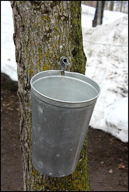 Maple tree, érablier, tap hole, bucket, collecting sap, Cabane à sucre, Constantin Grégoire, sugar shack, St-Esprit, Québec