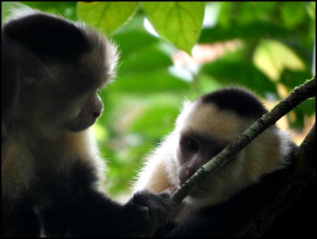 White-faced Capuchin Monkeys, Monkeys, Parque Nacional Manuel Antonio, Costa Rica, Park, nature, travel, photography, TS76