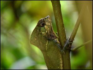Casque headed lizard, Parque Nacional Manuel Antonio, Costa Rica, Park, nature, travel, photography, TS76