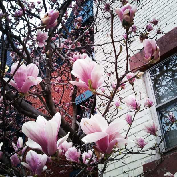 Magnolias, Magnolia tree, Montreal, Quebec, nature, outdoor, tree, flower tree, photography, TS76