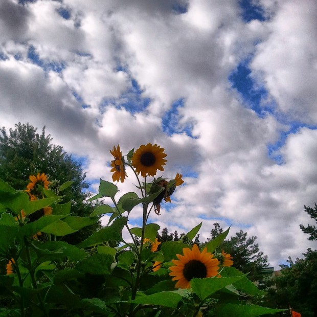Sunflowers, Montreal, Quebec, Canada, nature, outdoors, photography, TS76
