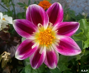 dahlia, fuchsia dahlia, flower, flower power, nature, outdoor, TS76, photography