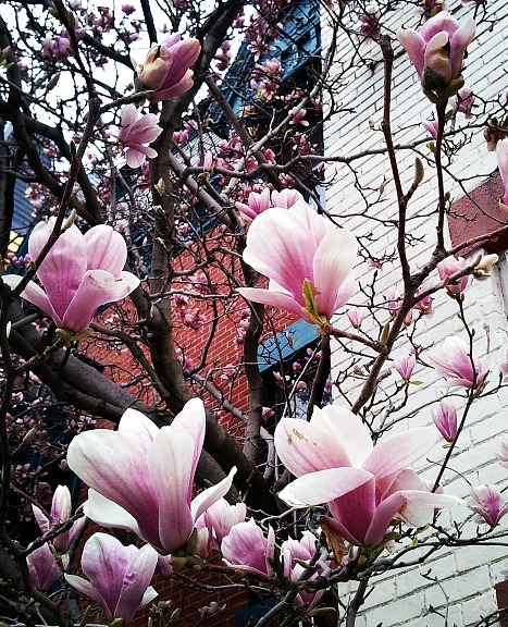 pink magnolias, magnolias, flower, flower power, nature, outdoor, TS76, photography