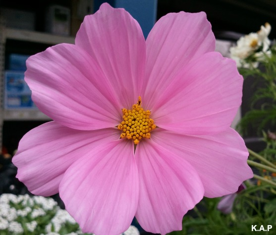 pink cosmos, cosmos, flower, flower power, nature, outdoor, TS76, photography