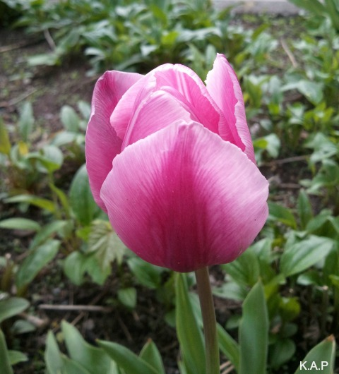 tulip, pink tulip, flower, flower power, nature, outdoor, TS76, photography