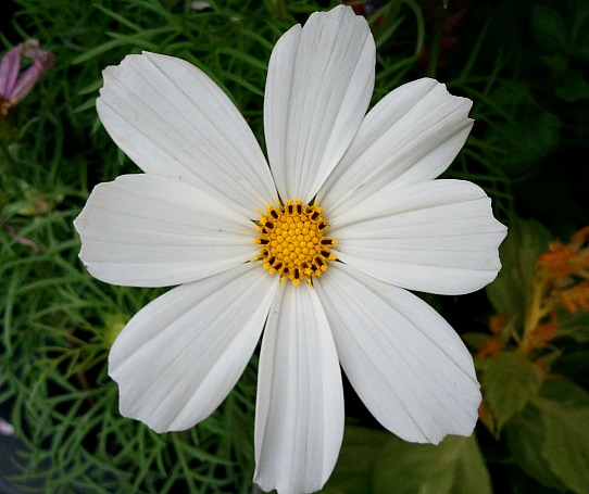 cosmos, white cosmos, flower, flower power, nature, outdoor, TS76, photography