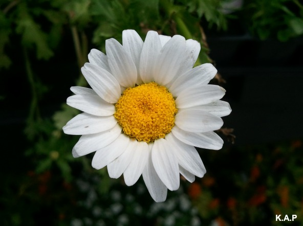 Daisy, white daisy, flower, flower power, nature, outdoor, TS76, photography
