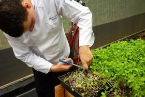 Chef Alejandro Torres, cutting Microgreens, Parador Resort and Spa, Costa Rica, greens