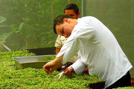 Chef Alejandro Torres, cutting Microgreens, Parador Resort and Spa, Costa Rica, greens