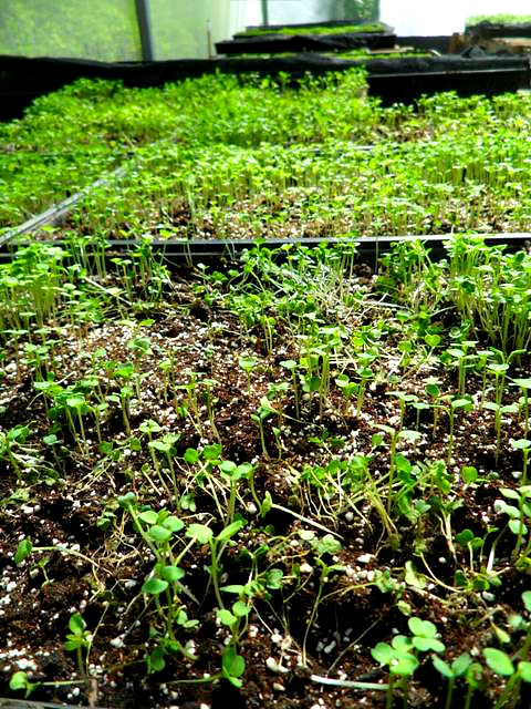Microgreens, organic, green house, invernero, Parador Resort and Spa, food, vegetables, TS76