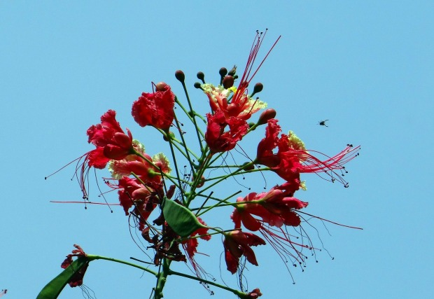Peacock flower, national flower, Barbados, flower, photography