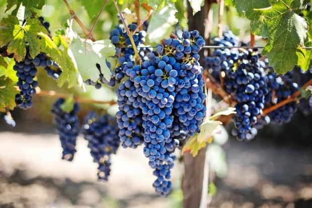 purple, grapes, vineyard, wine, travel, photography