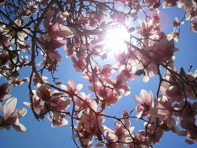 Magnolia tree, flowers, nature, photography