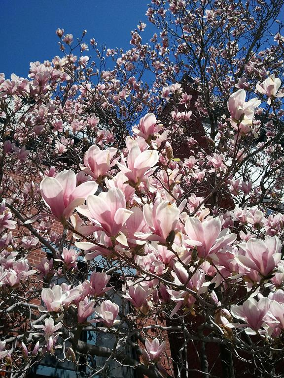Magnolia tree, flowers, nature, photography