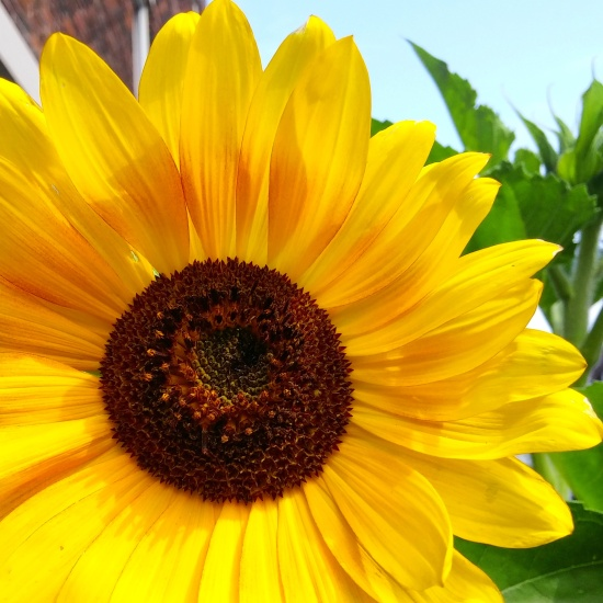 Gorgeous sunflower